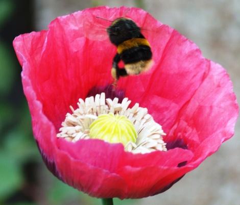 GARDEN BEES (9)